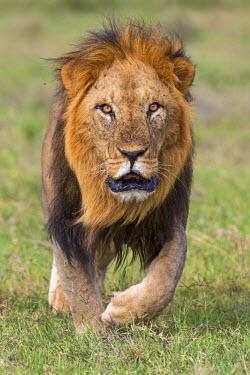 KEN9161 Kenya, Laikipia County, Laikipia. A black-maned lion.