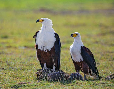 KEN9172 Kenya, Kajiado County, Amboseli National Park. A pair of Fish Eagles.