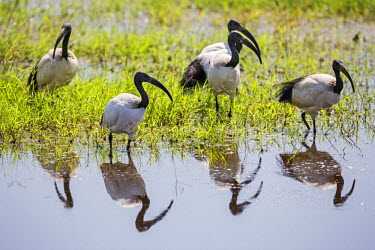 KEN9182 Kenya, Kajiado County, Amboseli National Park. Sacred Ibis in the swamps of Amboseli.