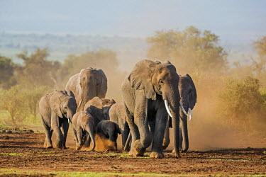 KEN9188 Kenya, Kajiado County, Amboseli National Park. A herd of African elephants on the move.