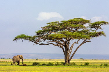 KEN9203 Kenya, Kajiado County, Amboseli National Park. An African elephant approaches a large Acacia tree.