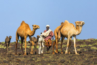 KEN9312 Kenya, Marsabit County, Kalacha. A Gabbra man herds his camels in a lava field near Kalacha.   The only livestock that thrives in the arid and semi-arid lands of the nomadic Gabbra are camels and goat...