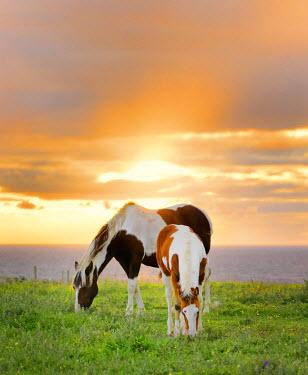 IRL0272AW Ireland, Co.Sligo, Mullaghmore, horses grazing