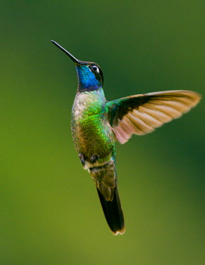 HMS0799464 Costa Rica, hummingbird, looking for food in flight