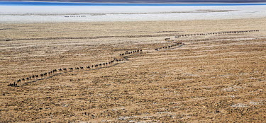 ETH2704 Ethiopia, Assale, Afar Region. In the early morning, Tigrayan camel herders lead their donkeys and camel caravans across the Assale salt flats to load salt blocks. Lake Karum in the distance lies 380...