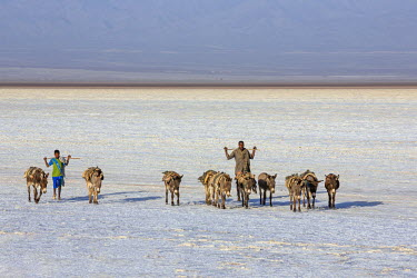 ETH2706 Ethiopia, Assale, Afar Region. In the early morning, Tigrayan men lead their donkeys across the Assale salt flats to load salt blocks which have been mined there for centuries.