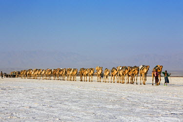 ETH2709 Ethiopia, Assale, Afar Region. In the early morning, Tigrayan camel herders lead their camels and donkeys across the Assale salt flats to load salt blocks which have been mined there for centuries.