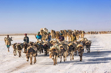 ETH2710 Ethiopia, Assale, Afar Region. In the early morning, Tigrayan men drive their donkeys and lead camels across the Assale salt flats to load salt blocks which have been mined there for centuries.