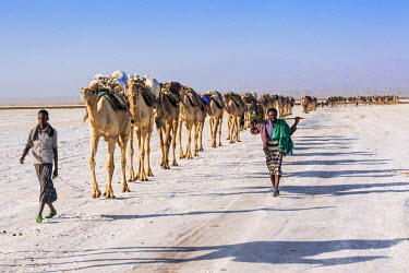 ETH2712 Ethiopia, Assale, Afar Region. In the early morning, Tigrayan men lead their camels across the Assale salt flats to load salt blocks which have been mined there for centuries. Salt was once the medium...