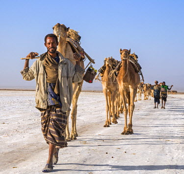 ETH2714 Ethiopia, Assale, Afar Region. In the early morning, Tigrayan men lead their camels across the Assale salt flats to load salt blocks which have been mined there for centuries. Salt was once the medium...