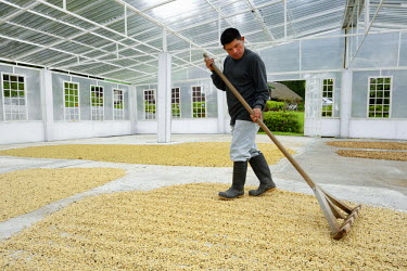 HMS1861615 Panama, Chiriqui province, Boquete, Coffee Plantation Finca Lerida, coffee beans drying inside a green house