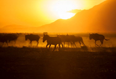 KEN9337 Kenya, Amboseli National Park. Stampeding zebra and wildebeest kick up dust at sunset.