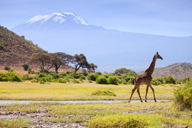 KEN9347 Kenya, Amboseli National Park. A giraffe ambling across, with Mount Kilimanjaro in the background.