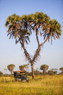 Kenya, Meru National Park. A safari vehicle drives around a distinctive Doum Palm.