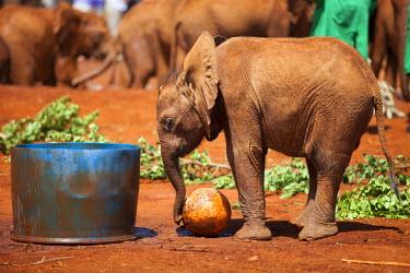 KEN9408 Kenya, Nairobi, Daphne Sheldrock Orphanage. A young elephant plays with a ball.