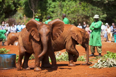 KEN9409 Kenya, Nairobi, Daphne Sheldrock Orphanage. Young orphaned elephants under the watchful gaze of their keepers.