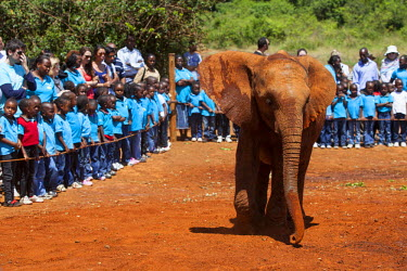 KEN9410 Kenya, Nairobi, Daphne Sheldrock Orphanage. An adolescent elephant enthralls local school children on a day trip.
