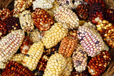 HMS0301822 Peru, Puno Province, lake Titicaca, island of Suasi, corn is a very important cereal for the amerindians, it has 35 different varieties