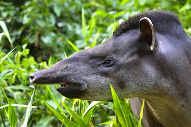 HMS0511455 Peru, Madre de Dios departement, Amazonia, Manu National Park, biosphere reserve listed as World Heritage by UNESCO, terrestrial tapir (Tapirus terrestris)
