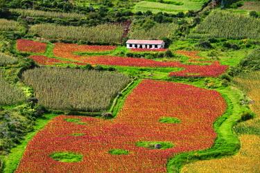 HMS1612843 Peru, Cuzco Province, the Incas Sacred Valley, Pisac, quinoa field (Chenopodium quinoa), the Inca's cereal
