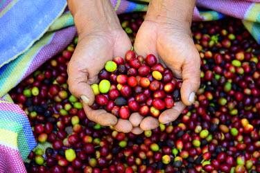 HMS1964976 Peru, Cuzco province, Convencion valley, Coffee road, Huacayupana, t�pica coffee beans