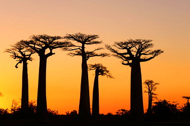 AF24AAS0258 Madagascar, Morondava, Baobab Alley, view on Adansonia Grandidieri at sunset