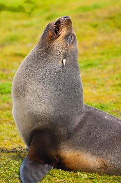 AN02IHO0386 South Georgia. Salisbury Plain. Antarctic fur seal (Arctocephalus gazella).