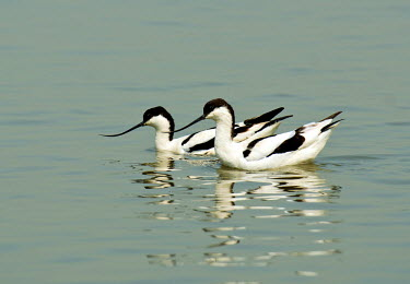 AS09RWR0008 Avocets at Mai Po WWF reserve, Hong Kong Pied Avocet, Recurvirostra avosetta at Mai Po reserve. The WWF Mai Po refuge at Deep Bay in Hong Kong is a wetland haven for thousands of migratory birds durin...
