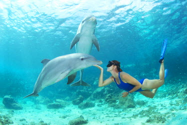 CA25BBW0037 Free diver face to face with a playful baby Atlantic bottlenose dolphin (Tursiops truncatus. while an observant mother watches overhead. Dolphin Academy, Curacao Sea Aquarium, Curacao, Netherlands Ant...