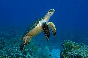 CA25BBW0501 Hawksbill sea turtle (Eretmochelys imbricata), swimming over a coral reef. Curacao, Netherlands Antilles.