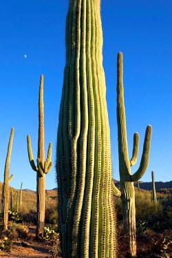 US03SDE0063 Giant Saguaro Cactus (Carnegiea Gigantea), Saguaro West National Park, Tucson, Arizona