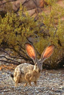 US03TWI0149 Black-tailed jackrabbit with sunlight shining through its thin ears, used for cooling. Lepus californicus. Sonoran Desert, Saguaro National Park, Tucson, Arizona, USA.