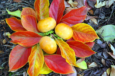 US05DBR0019 Ripe persimmons atop colorful autumn leaves of the tree.