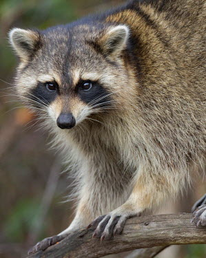 US10MPR0630 Raccoon, Procyon lotor, Florida, USA