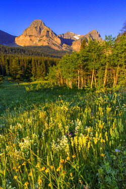 US27CHA3289 Wildflowers in the Cut Bank Valley of Glacier National Park, Montana, USA