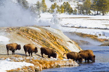 US51EBO0215 USA, Wyoming, Yellowstone National Park, Bison Herd drinking from Firehole River in Upper Geyser Basin.