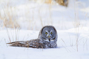 US51EBO0085 USA, Wyoming, Great Gray Owl sitting in snow after diving for rodent.