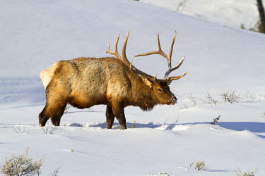 US51EBO0023 USA, Wyoming, Yellowstone National Park, Bull elk in snow.
