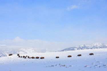 US51EBO0024 USA, Wyoming, Yellowstone National Park, Bison cows following in single file across slope in winter.