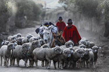 HMS2103970 Ecuador, Chimborazo, Natural Reserve of Chimborazo, shepherds and sheep grazing returning on a dusty road
