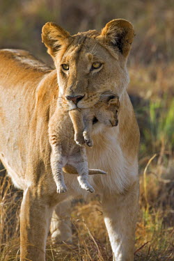 KEN9741AW Africa, Kenya, Masai Mara National Reserve. Female lioness moving her three week old cub to new den