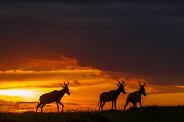 KEN9753AW Africa, Kenya, Masai Mara National Reserve. Hartebeest sunset
