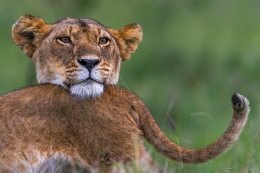 KEN9802AW Africa, Kenya, Masai Mara National Reserve. Lioness with young cubs