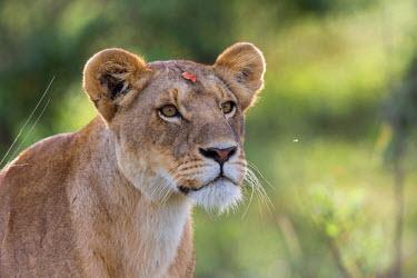 KEN9806AW Africa, Kenya, Masai Mara National Reserve. Lioness