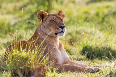 KEN9808AW Africa, Kenya, Masai Mara National Reserve. Lioness