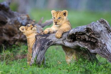 KEN9811AW Africa, Kenya, Masai Mara National Reserve. Young lion cubs playing