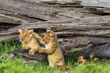 KEN9814AW Africa, Kenya, Masai Mara National Reserve. Young lion cubs playing