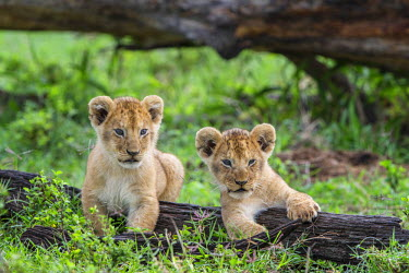 KEN9820AW Africa, Kenya, Masai Mara National Reserve. Young lion cubs playing