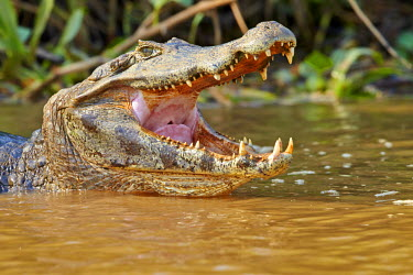 HMS2141854 Brazil, Mato Grosso, Pantanal region, Yacare caiman (Caiman yacare), resting on the bank of the river, mouth open
