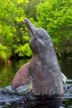 HMS1907139 Brazil, Amazonas state, Amazon river basin, along Rio Negro, Amazon River Dolphin, Pink River Dolphin or Boto (Inia geoffrensis), wild animal in tannin-rich water, extremely rare picture of wild anima...